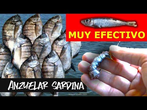 Cómo anzuelar o encarnar una Sardina para pescar en el mar How to use Pilchards as bait