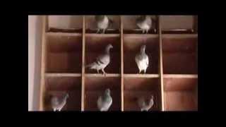BRPFC (Bangladesh Racing Pigeon Fanciers Club) In Gtv Part I