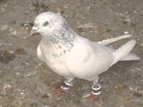Pigeon high Flyer