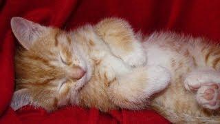 Stroking Sleepy Little Kitten Miyu