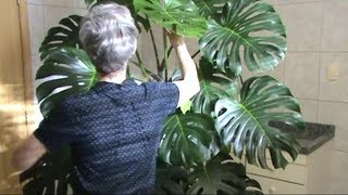 House plant pot: Cutleaf Philodendron (aka Monstera Deliciosa)