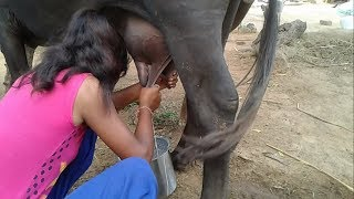 Village How to Get Young Girl Milk From Cow And Buffalo  Live Video 2 | Milking Buffalo