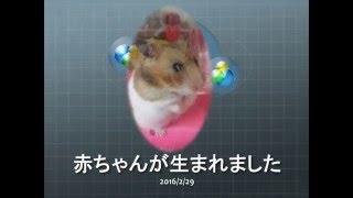 出産中 ① (苦手な方はスルーを)  ハムスター Under childbirth. Hamster