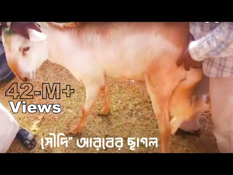 একটি চাগলের ওজন 40 কেজি+!!!সৌদি আরবে বাংলাদেশী ছাগল ব্যবসায়ী,কোটি টাকার হাতছানি|😃😇