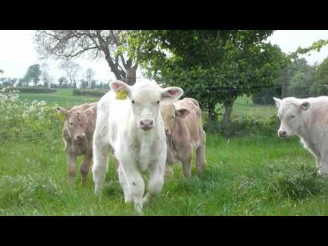 Spring turnout for the cows and calves (DOTF Series 1 Ep6)
