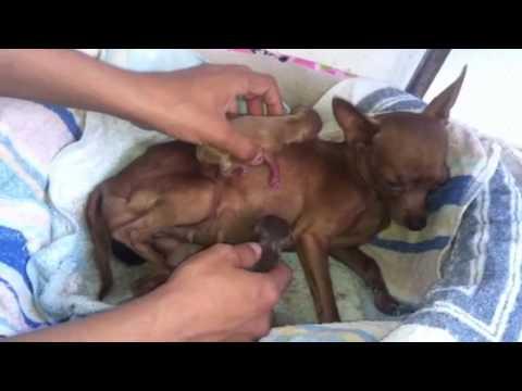 El parto de mi perrita Shakira parte1