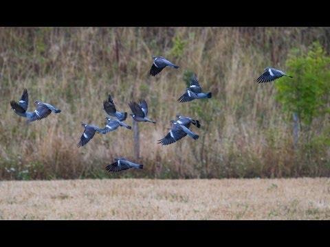 Superbe journée aux pigeons Caméra GoPro Chasse HD