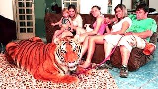 একটি নয় দুটি নয় সাতটি বাঘের সাথে ঘর সংসার করছে এই পরিবারটি | living with tigers