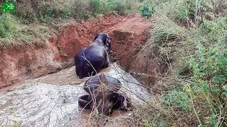 An Elephant family saved from a swallowing muddy pit