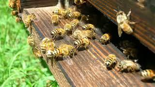 murmur...of bees ...