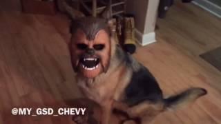 Dog wearing a Chewbacca mask