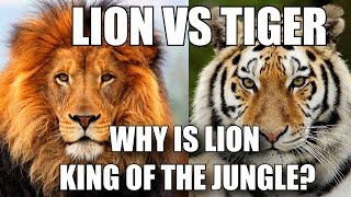 WHY IS LION CALLED KING OF THE JUNGLE - LION VS TIGER