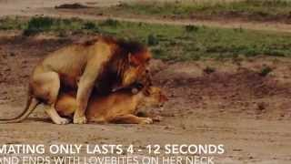 Lions Mating - Serengeti National Park, Tanzania by Boutique Safaris Ltd