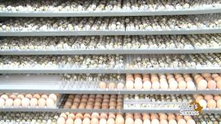 Quails farming in Kenya