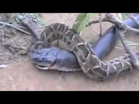 King Cobra vs Python One gets eaten
