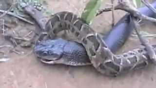 King Cobra vs Python-One gets eaten !!