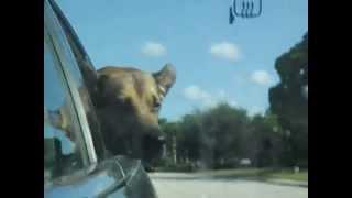 BatDog Car Ride 2