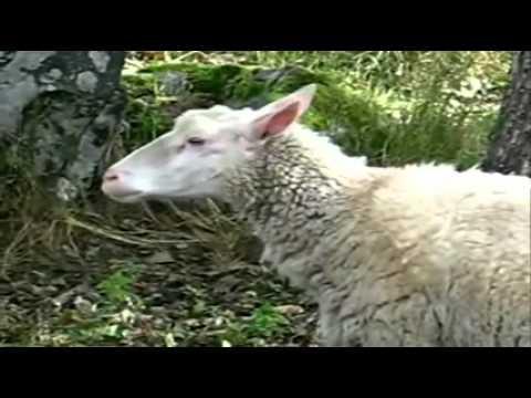 I FUck Sheep
