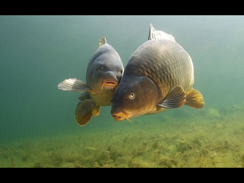 видео подводная охота на сома и сазана