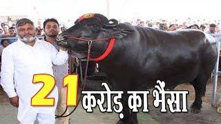 9 करोड़ का भैंसा , हर महीने कमा लेता है 7 लाख रुपये , आब इसकी कीमत 21 करोड़ !