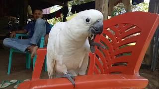 Burung Kaka Tua Paling Gacor dan JInak