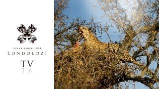 Leopard vs Fish Eagle 25 Meters Up - Londolozi TV