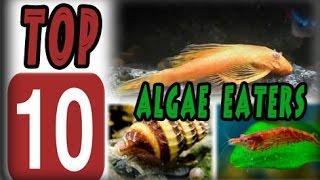 Top 10 Algae Eaters