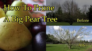 Pruning A Mature Pear Tree