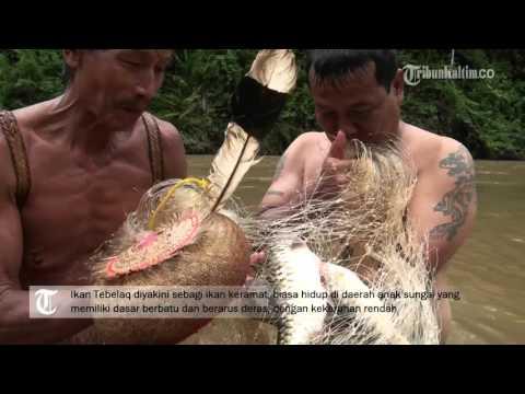 VIDEO Ikan keramat dari Pedalaman Kalimantan Timur