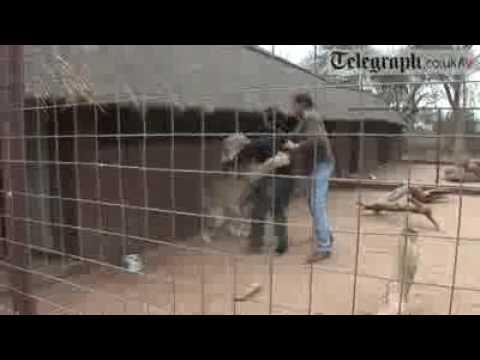 Se metió en la jaula de un león y salvó su vida de milagro