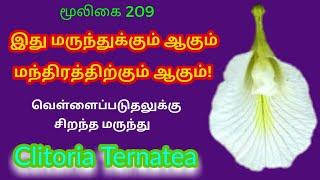 வெண்சங்கு பூ|வெள்ளை காக்கணம்|kaakkarattan flower|clitoria ternatea|Alasal