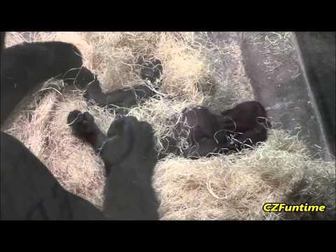 Xxx Mp4 Mama Gorilla Shows Off Baby 3gp Sex
