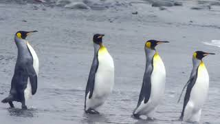 Video Stock Footage Free Download   Penguins Free Footage   Animals Stock Footage Free Download