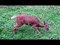 Download Video Download BOWHUNTING HEART SHOT on Big Doe 2018 - John's Best Compound Bow Deer Hunting - ARCHERY DEER SEASON 3GP MP4 FLV