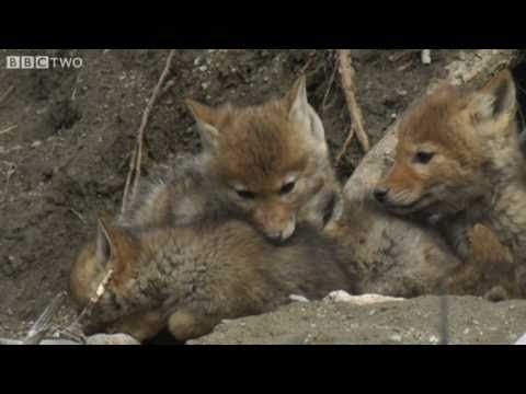 Cute Coyote Pups Emerge From The Den - Natural World: The Last Grizzly Of Paradise Valley - BBC Two