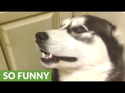 Vocal husky is very