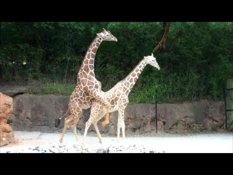 Mating Giraffes Sexual Education On The Sixth Try This Male Giraffe Succeeds