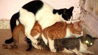 кошки совокупляются видео