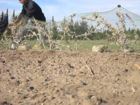 Capture du (Tarins des aulnes) - Likra