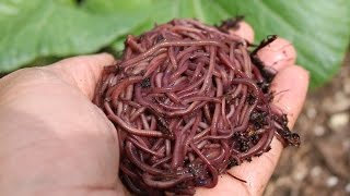 How to make your own soil with worms