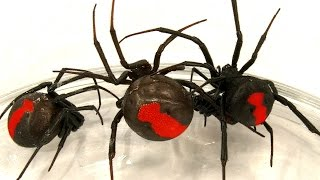 Deadly Spider Infestation How To Catch Lots Of Scary Redback Spiders