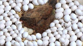 "Hen Harvesting Eggs To New ""BORN"" Chicks; Smallest Bird Chick? (Fish Cutting)"