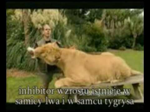 Nie tygrys nie Lew ale Lygrys