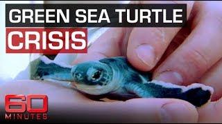 Saving the Green Sea Turtles | 60 Minutes Australia