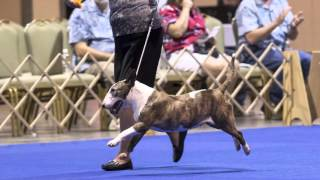 Bull Terriers in the show ring