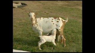 ताकतवर है बकरी का दूध, इसे पीने से होते हैं ये फायदे ...Goat Milk Characteristics