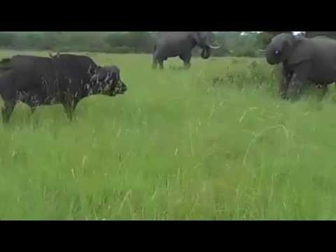 Elefante x búfalo elefante jovem desafia búfalo adulto veja o que aconteceu