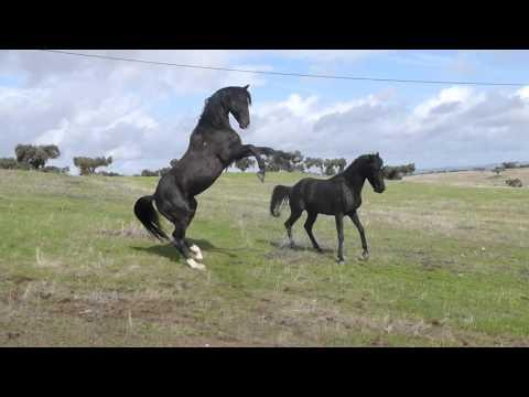 Black arabian stallions 1st meeting. Sementales arabes 1er encuentro. Gaverni & Vidao