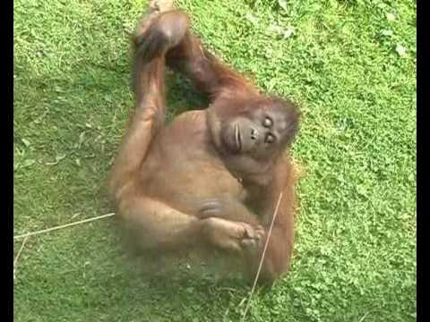 Xxx Mp4 Gorilla Orgasm Orangutan Lust She S Almost Human 3gp Sex