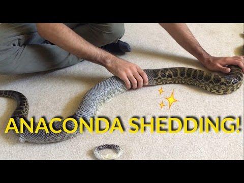 ANACONDA SHEDDING